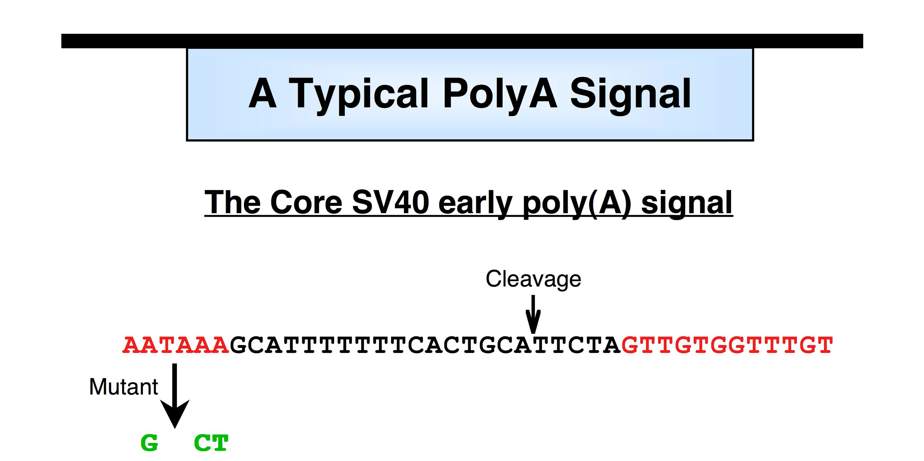processes of polyadenylation Component of the cleavage and polyadenylation specificity factor (cpsf) complex that plays a key role in pre-mrna 3'-end formation, recognizing the aauaaa signal sequence and interacting with poly(a) polymerase and other factors to bring about cleavage and poly(a) addition.